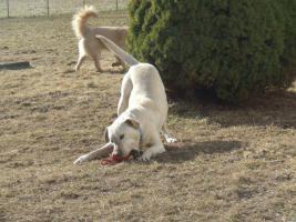 Foto 4 1,5 Jahre alte Labradorhündin sucht neue Familie
