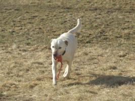 Foto 5 1,5 Jahre alte Labradorhündin sucht neue Familie