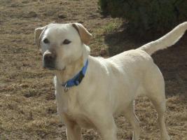 Foto 6 1,5 Jahre alte Labradorhündin sucht neue Familie