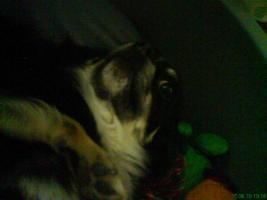 Foto 2 1j�hrigen Chihuahua -R�den