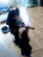 Foto 3 1j�hrigen Chihuahua -R�den