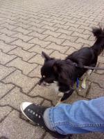 Foto 4 1j�hrigen Chihuahua -R�den