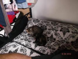 2 1/2 Monate altes Kätzchen sucht neues zuhause.