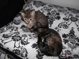 Foto 3 2 1/2 Monate altes Kätzchen sucht neues zuhause.