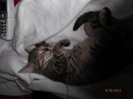 Foto 4 2 1/2 Monate altes Kätzchen sucht neues zuhause.