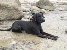 2 1/2 jähr. schwarze Labrador-Mix-Hündin zu VERSCHENKEN