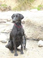 Foto 4 2 1/2 jähr. schwarze Labrador-Mix-Hündin zu VERSCHENKEN