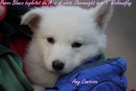 2 von 9 Weisse Sch�ferhund Welpen suchen noch neues Frauchen/Herrchen