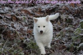 Foto 2 2 von 9 Weisse Schäferhund Welpen suchen noch neues Frauchen/Herrchen