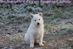 Foto 3 2 von 9 Weisse Sch�ferhund Welpen suchen noch neues Frauchen/Herrchen