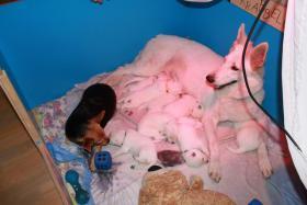 Foto 5 2 von 9 Weisse Schäferhund Welpen suchen noch neues Frauchen/Herrchen