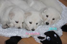 Foto 6 2 von 9 Weisse Schäferhund Welpen suchen noch neues Frauchen/Herrchen