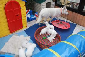 Foto 8 2 von 9 Weisse Schäferhund Welpen suchen noch neues Frauchen/Herrchen