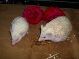 2 Afrikanische weissbauch igel jungtiere