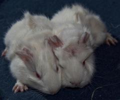 2 Albinomeerschweinchenbabys