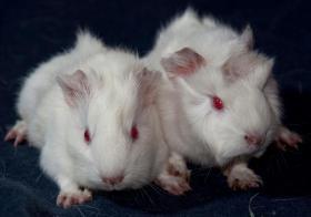 Foto 2 2 Albinomeerschweinchenbabys