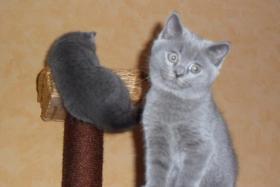 2 BKH Kätzchen in blau