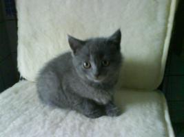 Foto 2 2 BKH Katzen (beide weiblich)