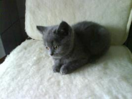 Foto 3 2 BKH Katzen (beide weiblich)