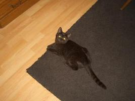 Foto 2 2 BKH Kitten in black smoke, komplett geimpft m�chten ab sofort ausziehen