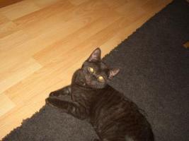 Foto 3 2 BKH Kitten in black smoke, komplett geimpft möchten ab sofort ausziehen