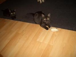 Foto 4 2 BKH Kitten in black smoke, komplett geimpft möchten ab sofort ausziehen