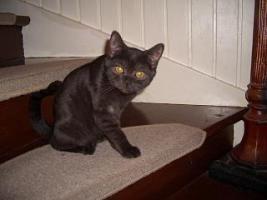 Foto 5 2 BKH Kitten in black smoke, komplett geimpft möchten ab sofort ausziehen