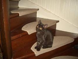 Foto 6 2 BKH Kitten in black smoke, komplett geimpft m�chten ab sofort ausziehen