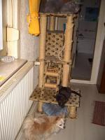 Foto 7 2 BKH Kitten in black smoke, komplett geimpft m�chten ab sofort ausziehen
