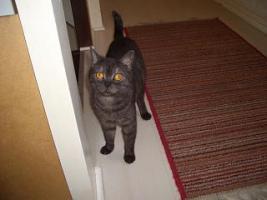 Foto 9 2 BKH Kitten in black smoke, komplett geimpft möchten ab sofort ausziehen