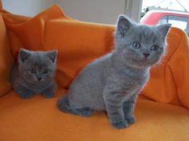 2 BKH-Kitten suchen ihr neues Zuhause!