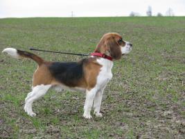 2 Beagle-Rüden in liebevolle Hände abzugeben!