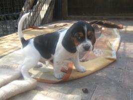 2 Beagle Welpen ( Rüden ) suchen eine neue Familie