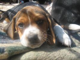 Foto 2 2 Beagle Welpen ( Rüden ) suchen eine neue Familie