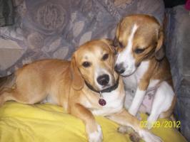 2 Beagle-mix hunde suchen noch ein sofa platz!