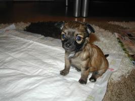 Foto 2 2 Chihuahua Babys