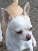 2 Chihuahua Jungrüden in kurzhaar