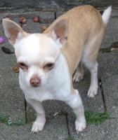 Foto 3 2 Chihuahua Jungrüden in kurzhaar