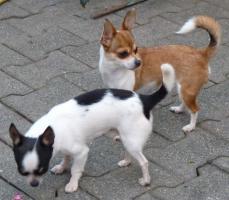 Foto 5 2 Chihuahua Jungrüden in kurzhaar