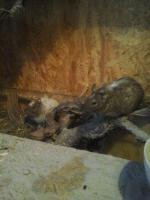 2 Degumännchen (Geschwisterpärchen)