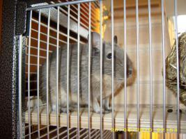 Foto 4 2 Degus ca. 16 Wochen alt