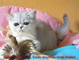 2 Exotic Shorthair-Mädchen in silver shaded