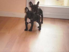 2 French Bulldog Welpen mit Papieren suchen dich