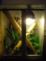 2 Geckos (Blauer Bambus Taggecko) mit Terrarium