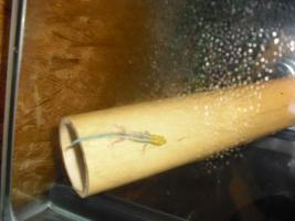 Foto 4 2 Geckos (Blauer Bambus Taggecko) mit Terrarium