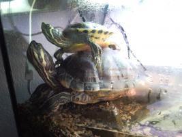 2 Gelbwangenschmuckschildkröten