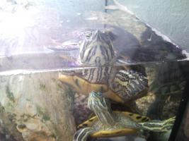 Foto 2 2 Gelbwangenschmuckschildkröten