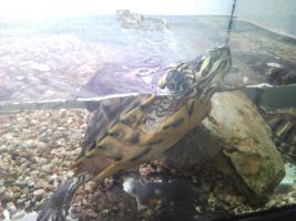 Foto 3 2 Gelbwangenschmuckschildkröten