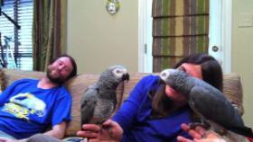 Foto 3 2 Graupapageien Jungtiere in Liebevolle Hände abzuge