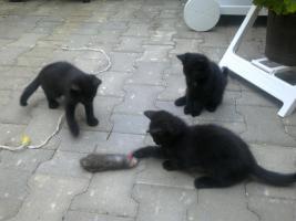 2 Hauskätzchen und 1-kater (8 wochenalt)